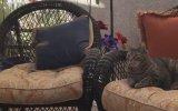 Kedinin Karşısında Eceliyle Oynayan Sinek Kuşu