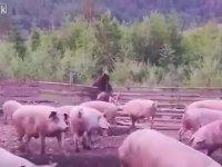 Domuz Çiftliğinden Domuz Çalan Ayı