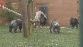 Hoş Karşılanmayan Kılsız Şempanzeler