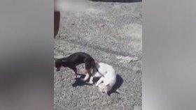 Kedi ve Köpeğin Çiftleşirken Kitlenmesi