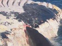 Köpekbalığının Ölü Balinayla Beslenmesi