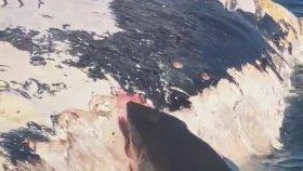 Ölü Balinayla Beslenen Köpekbalığı
