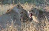 Anne Aslanının Terbiyesizlik Yapan Kızını Dövmesi
