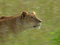 Dişi Aslanın Yaban Domuzu Avı