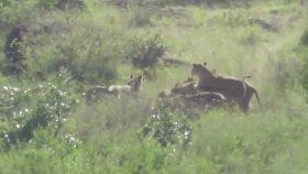 Arkadaşını Aslanlardan Kurtarmaya Çalışan Bufalo