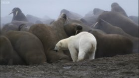 Morsların Aç Kutup Ayısından Kaçışları