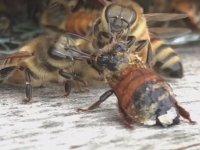 Arkadaşını Temizleyip Kurtaran Arılar