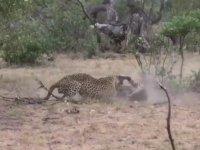 Erkek Leoparın Bölgesine Giren Genç Leopar