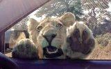 Turist Aracına Göz Diken Meraklı Aslan
