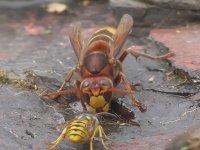 Eşek Arısı Vs Yaban Arısı - Ölümle Mücadele