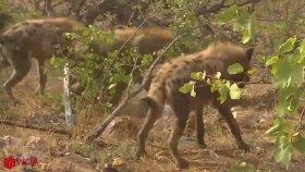 Son Avında Büyük Darbe Yiyen Leoparı Yemeye Çekinen Sırtlanlar