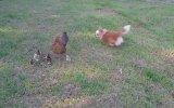 Koruyucu Tavuk ve Oynak Köpek Yavrusu