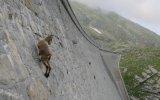 Düz Duvara Tırmanan Keçiler