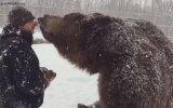 1,500 Kiloluk Alaska Boz Ayısını Beslemek