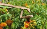 Arıyı Parçalara Ayırarak Canlı Canlı Yiyen Peygamber Devesi