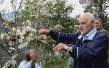 Armut Ağacı Meyvesi Üzerinde Çiçek Açması