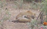 Yoldaki Leoparların Ölümüne Kavgaları