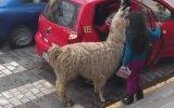 Taksiye Binen Lama