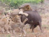 Aslanlara Karşı Çaresiz Kalan Bufalonun Mücadelesi
