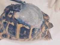 Parçalanan Kabuğu Onarılan Kaplumbağa