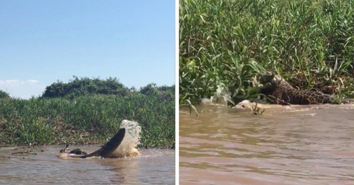 Suyun İçinde Timsahla Ölümüne Boğuşan Jaguar