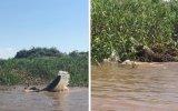 Timsahla Suyun İçinde Ölümüne Boğuşan Jaguar