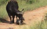 Bufalonun Doğum Anı