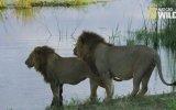 Timsahın Saldırısına Uğrayan Kardeş Aslanlar