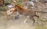 Leoparın İmpalayı Havada Avlaması