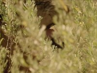 Erkek Aslan Görünümlü Dişi Aslan