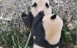 Pandaların Elma Kapma Mücadelesi
