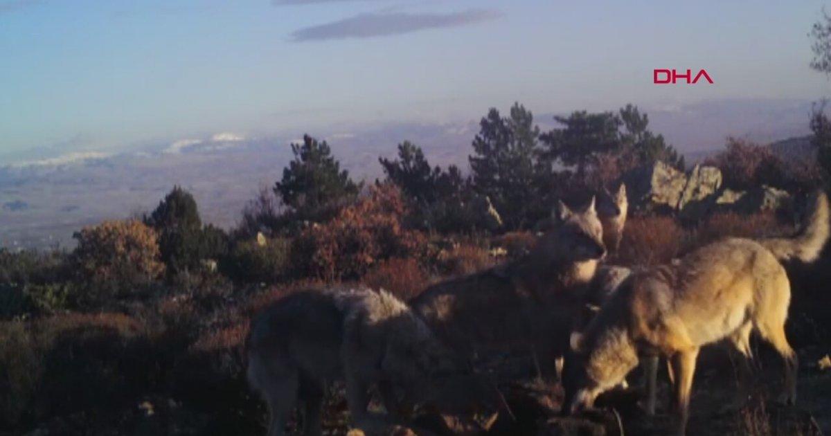 Avladıkları Hayvanı Yerken Fotokapana Yansıyan Kurt Sürüsü