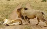 Erkek Aslanın Uyuyan Dişi Aslana Sessizce Yaklaşması