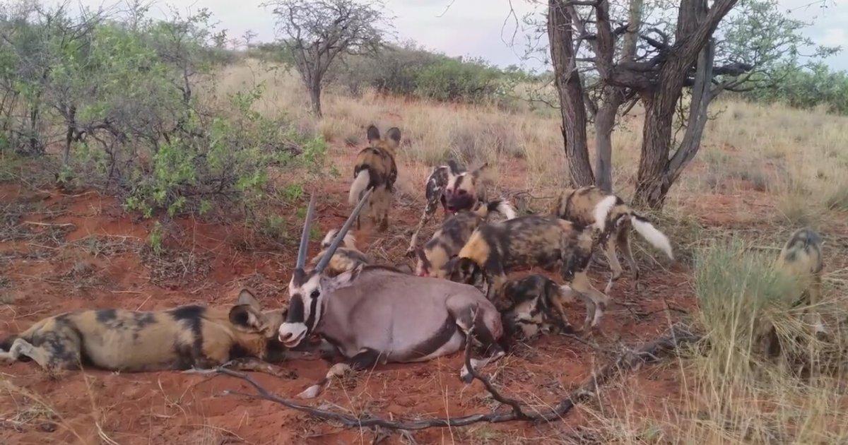 Vahşi Köpeklerin Acımasız Oriks Avı