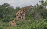 Zürafayı Devirmeye Çalışan Aslanlar