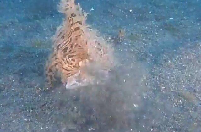 Doyumsuz Kıllı Kurbağa Balığı