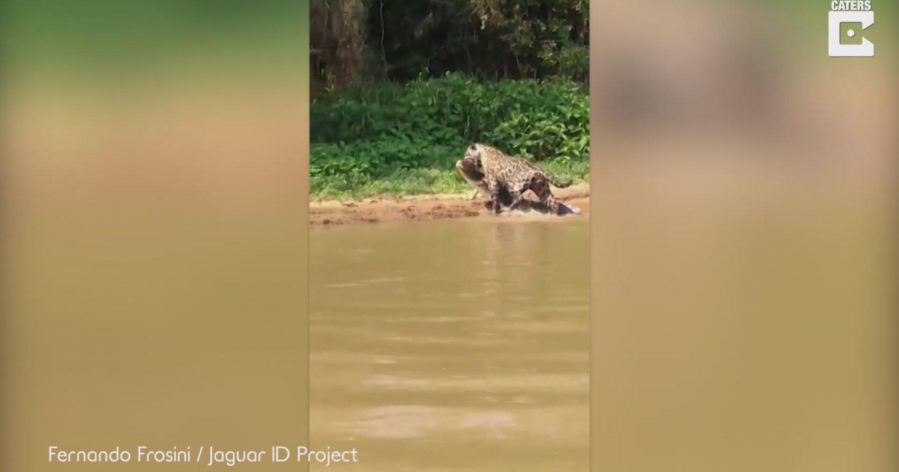 Suyun İçinde Timsah Avlayan Jaguar