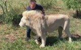 Safari Yapan Turistin Aslanlara Sarılması