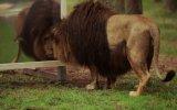 Yelenin Hakkını Veren Erkek Aslan
