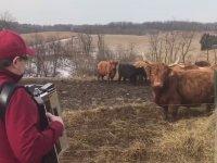 Koşa Koşa Akordeon Dinlemeye Gelen Sığırlar