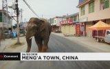 Şehirde Gezintiye Çıkan Yabani Fil