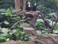 Ters Takla Atan Maymun