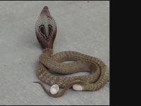 Yolun Ortasına Yumurta Bırakan Kral Kobra