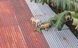 Çatıda Başlayıp Yerde Biten Amansız Kedi Kavgası