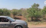 Akbabaların Elinden Antilobu Alan Aslan