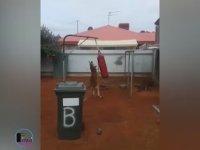 Boks Torbasında Antrenman Yapan Kanguru