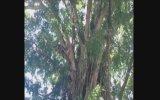 Yaşlı Ağaca Maymun Gibi Tırmanan Adam