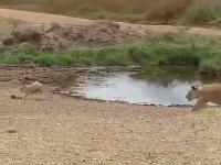Aslanı Pazara Gönderen Antilop