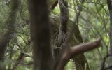 Uçamayan, Ağaç Tırmanan Papağan Kakapo Benedict Cumberbatch