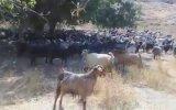 Keçilerine Askeri Eğitim Veren Çoban